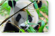 Protecting Pandas from Extinction